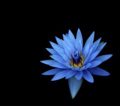 blue_flower_hd1080p